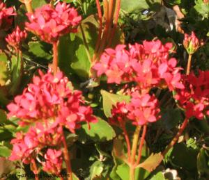 Flowering Kalanchoe Plant Care